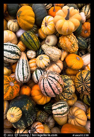 Mix of squash and gourds. Half Moon Bay, California, USA (color)