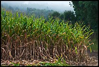 Corn crops. Half Moon Bay, California, USA (color)