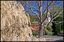 Tree blossoms in Filoli garden. Woodside,  California, USA ( color)