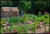 Vegetable Garden, Rancho San Antonio Open Space, Los Altos. California, USA (color)