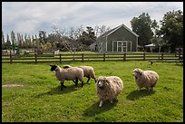 Sheep, Ardenwood historic farm regional preserve, Fremont. California, USA (color)