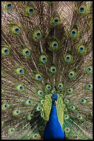 Peafowl fanning its tail, Ardenwood farm, Fremont. California, USA ( color)