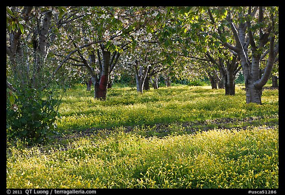 Fruit orchard in spring, Sunnyvale. California, USA (color)