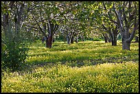 Fruit orchard in spring, Sunnyvale. California, USA ( color)