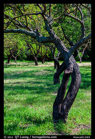 Fruit Orchard, John Muir National Historic Site. Martinez, California, USA (color)