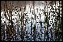 Reeds and pond, Garin Regional Park. California, USA (color)