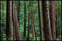 Redwood forest on hillside. Muir Woods National Monument, California, USA (color)
