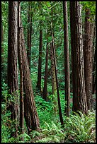 Redwood trees on hillside. Muir Woods National Monument, California, USA ( color)