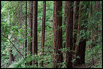Grove of redwood trees. Muir Woods National Monument, California, USA (color)