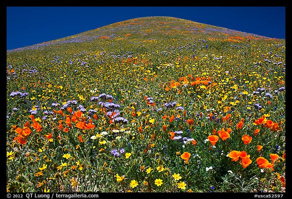 Multicolored flowers and hill, Gorman Hills. California, USA (color)