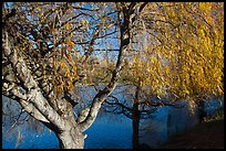 Pond and willows in autumn, Ed Levin County Park. California, USA ( color)