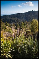 Pride of Madeira (Echium candicans) above valley and redwood forest. Muir Woods National Monument, California, USA (color)