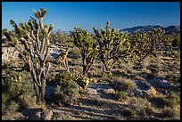 Joshua trees in bloom. Mojave National Preserve, California, USA (color)