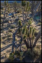 Backlit joshua tree forest with blooms. Mojave National Preserve, California, USA (color)