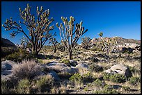 Joshua trees and Teutonia Peak. Mojave National Preserve, California, USA (color)