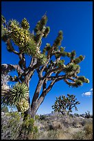 Blooming Joshua Trees. Mojave National Preserve, California, USA (color)