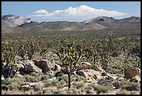 Joshua tree forest, Cima Dome. Mojave National Preserve, California, USA (color)