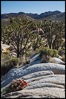 Cactus in bloom, Joshua Trees, and desert mountains. Mojave National Preserve, California, USA (color)