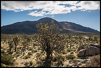 Joshua trees, Cima Dome. Mojave National Preserve, California, USA (color)