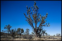 Tall, multi-branced Joshua trees in bloom. Mojave National Preserve, California, USA (color)