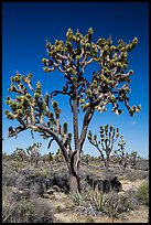Joshua trees (Yucca brevifolia). Mojave National Preserve, California, USA (color)