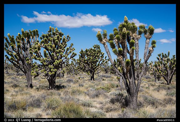 Dense forest of Joshua trees blooming. Mojave National Preserve, California, USA (color)