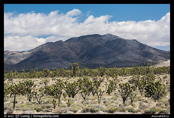 Joshua tree forest and Ivanpah Mountains. Mojave National Preserve, California, USA (color)