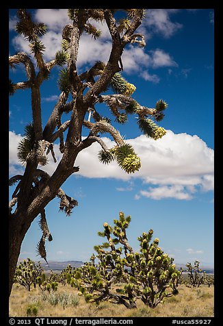 Joshua tree flowering. Mojave National Preserve, California, USA (color)