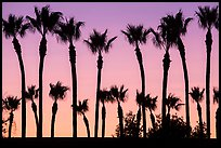 Palm trees at sunset. Los Angeles, California, USA ( color)