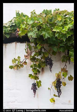 Grapes and white wall, El Presidio. Santa Barbara, California, USA (color)