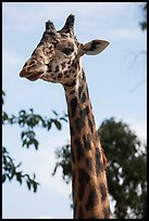 Giraffe, San Diego Zoo. San Diego, California, USA ( color)