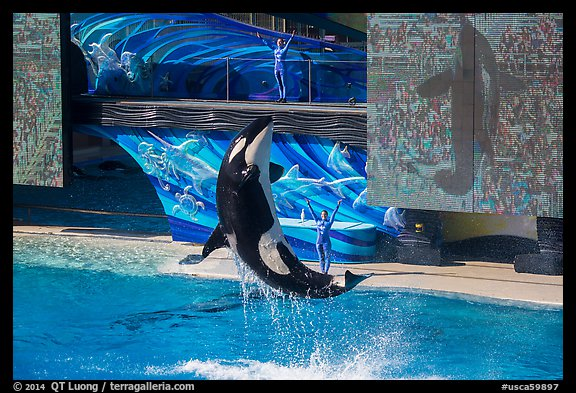 Killer Whale jumping. SeaWorld San Diego, California, USA (color)