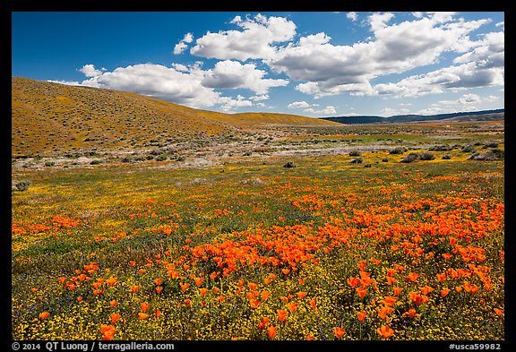 Carpet of California poppies and goldfieds. Antelope Valley, California, USA (color)