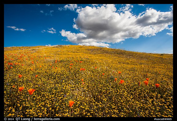 Hill solidly covered with goldfield flowers and a few poppies. Antelope Valley, California, USA (color)