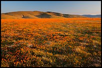 Field of closed poppies near sunset. Antelope Valley, California, USA ( color)