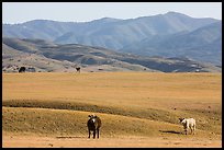 Cattle and Temblor Range. California, USA ( color)