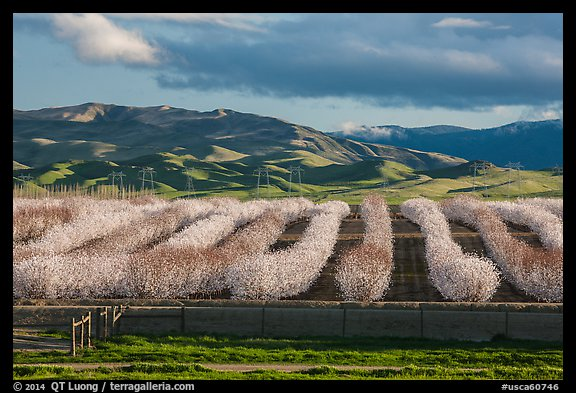 Orchard in bloom and green hills. California, USA (color)