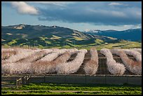 Orchard in bloom and green hills. California, USA ( color)