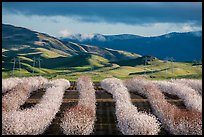 Rows of nut trees in bloom and verdant hills. California, USA ( color)