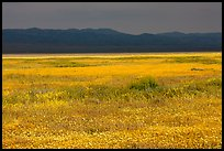 Wildflowers, Temblor Range and dark sky. Carrizo Plain National Monument, California, USA ( color)