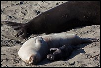 Pup, female, and part of male elephant seal, Piedras Blancas. California, USA ( color)