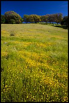 Wildflowers, grasses, and oaks, Pacheco State Park. California, USA ( color)