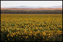 Sunflower field and hills. California, USA ( color)