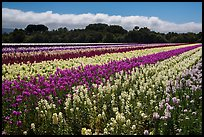 Flower fields. Lompoc, California, USA ( color)