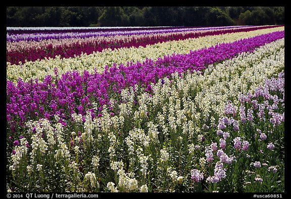 Field with rows of flowers. Lompoc, California, USA (color)