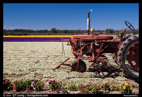 Tractor and flower field. Lompoc, California, USA (color)