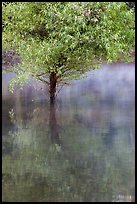 Tree rising out of water, Jenkinson Lake, Pollock Pines. California, USA ( color)