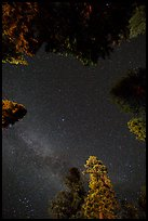 Stary sky and pine treetops. California, USA ( color)