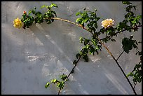 Roses in memorial garden, Cesar Chavez National Monument, Keene. California, USA ( color)