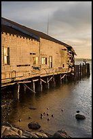 Ruined Wharf and ducks, Bodega Bay. Sonoma Coast, California, USA ( color)